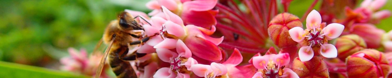 Honigbiene auf Gewöhnlicher Seidenpflanze