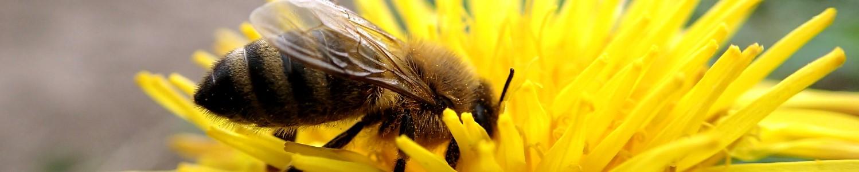 Honigbiene auf Löwenzahn