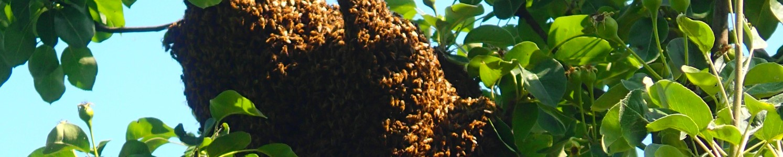 Bieneschwarm