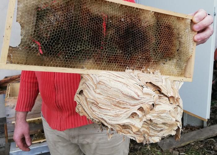 In einem Schwarmkasten sind statt Bienen Hornissen eingezogen. An den Rähmchen haben sie ihr großes Nest gebaut, das auf diesem Foto ins Bild gehalten wird.